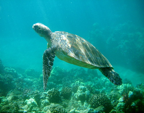 Honu | by jurvetson