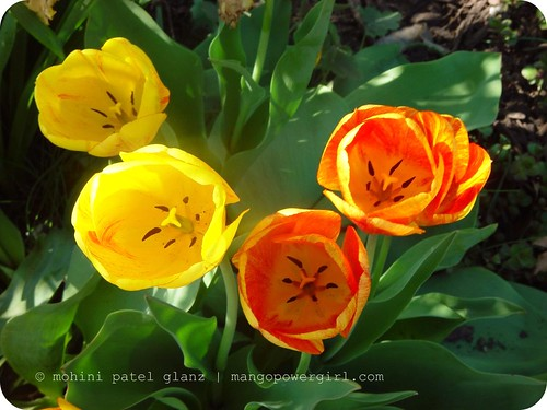 The Transitional Tulips | by mohini :: mangopowergirl.com