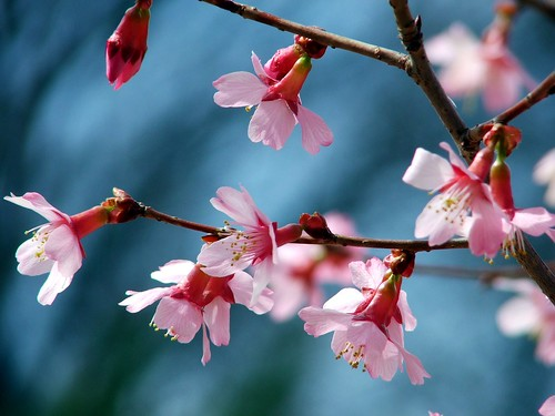 Plum Blossoms | by Creativity+ Timothy K Hamilton