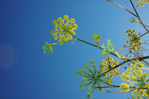 Fennel | by visualdensity