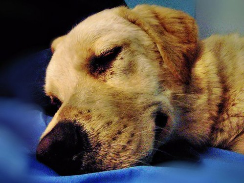 Big Bubba Our Sleeping Yellow Lab | by Reellady