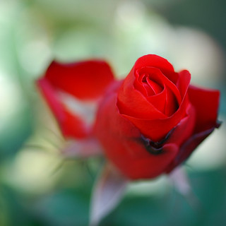 Red Rose | by yoshiko314