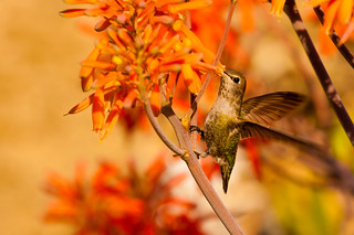 Hummingbird 12 | by Danny Perez Photography