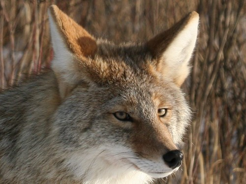 Coyote_Crop | by ru_24_real