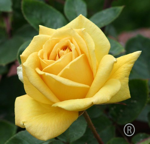 Yellow Rose of Texas | by Rareimage Photography