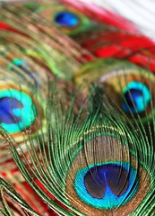 peacock feathers | by Lovey A