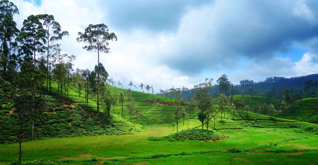 Sri Lanka - Plantation de thé
