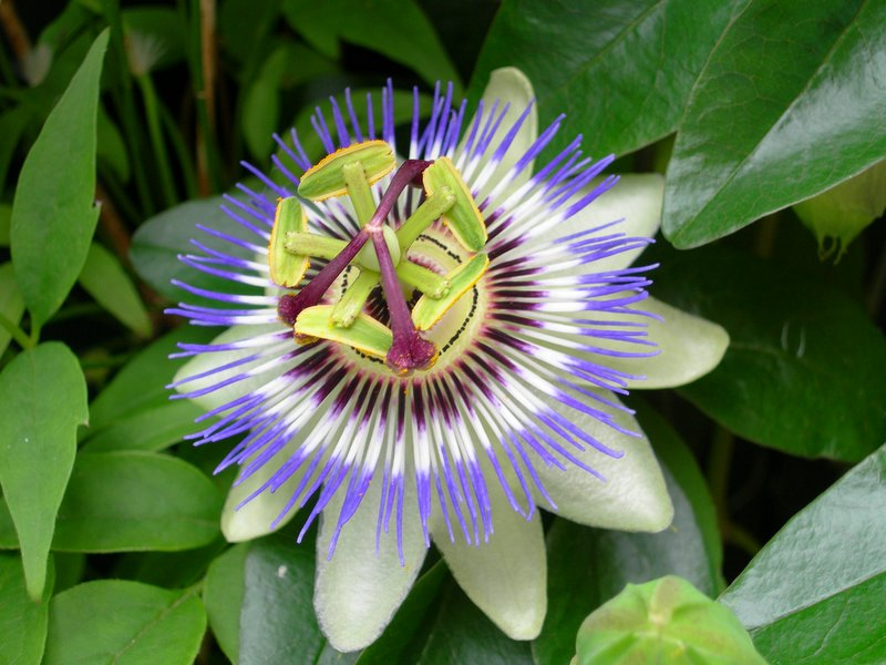 Wild Passionflowers