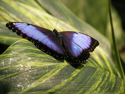 Blue Morpho Butterfly | by DDFic