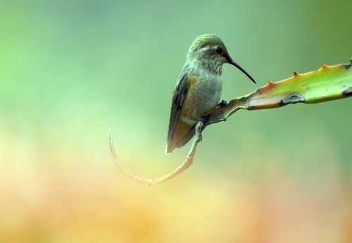 Hummingbird Afternoon | by Danny Perez Photography