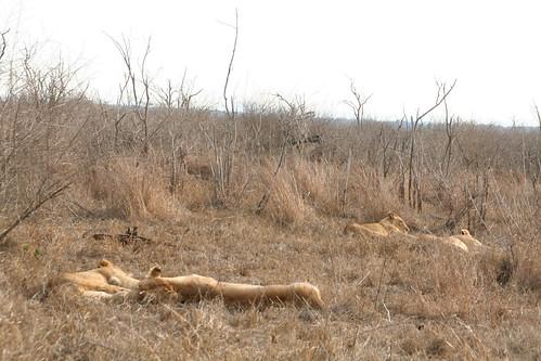 4 Lazy Lions