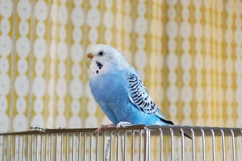 """Budgerigar_Ico_(2016_12_20)_1_resized_1 セキセイインコの女の子である """"イコ"""" ちゃんを撮影した写真。 綺麗な青い色をしている。 鳥籠の上に乗り、左手前を向いている。"""