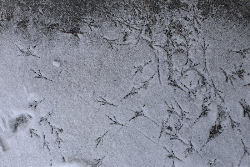 dark eyed junco tracks