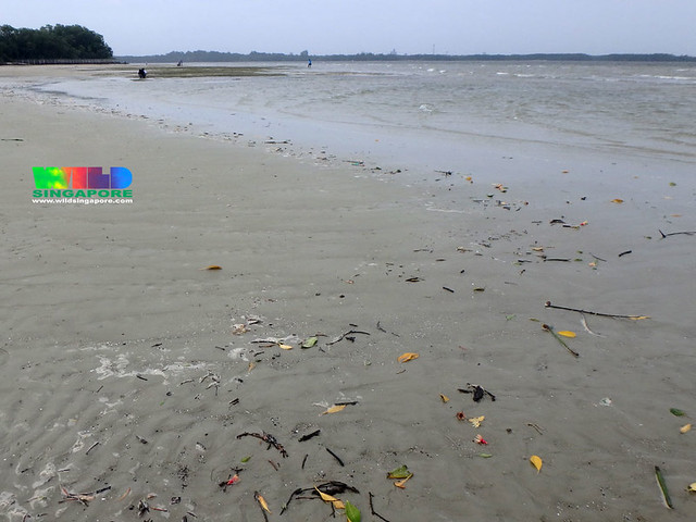 Not much trash washing up on Northern Chek Jawa