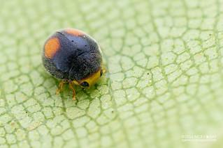 Ladybird beetle (Scymnini) - DSC_7496