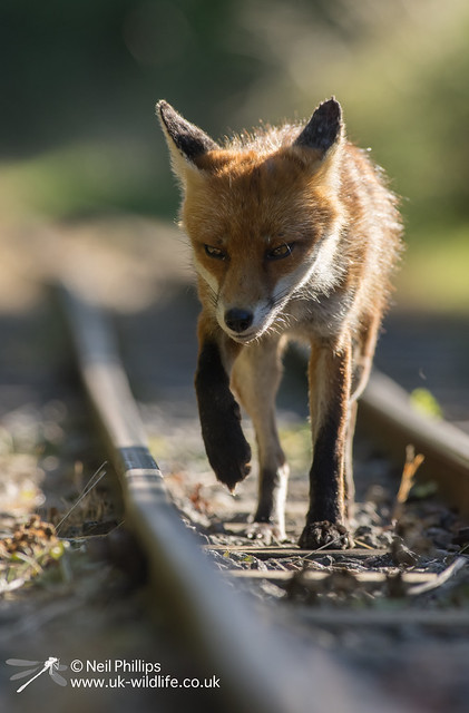 38 fox cub