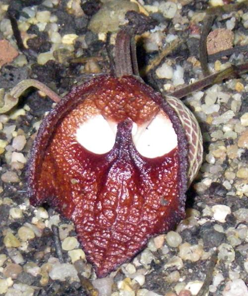 Aristolochia salvadorensis 32164411446_6bc4dc5e12_o