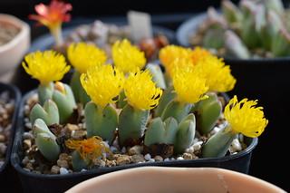 DSC_0052 Conophytum cv. 'Kogikunomai'  コノフィツム 小菊の舞