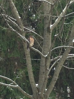 Red-shouldered Hawk Mary Anne Romito CBC 2016