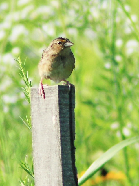 Grasshopper Sparrow 2-20150714