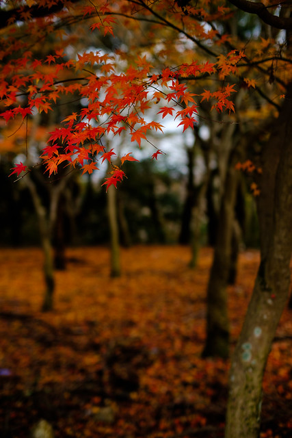 Japanese Maple Autumn