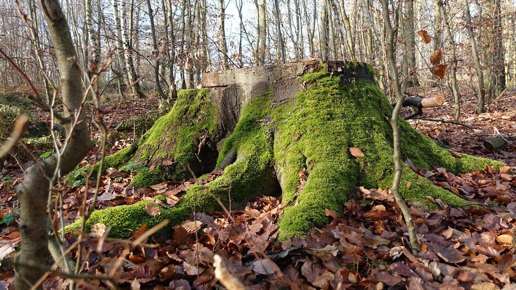Bemooster Baumstumpf - Wandern auf dem Saynsteig