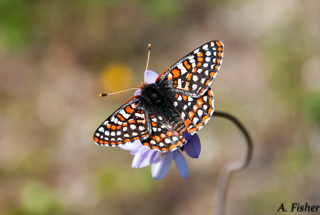 Quino Checkerspot Butterfly on a wild hyacinth