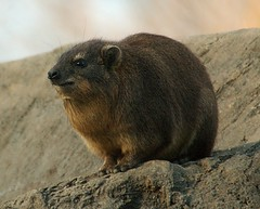 Hyrax (DSC_8542) | by swh
