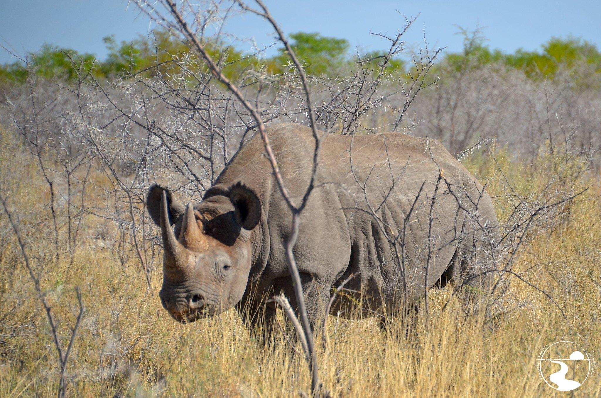 Rinoceronte blanco, Etosha