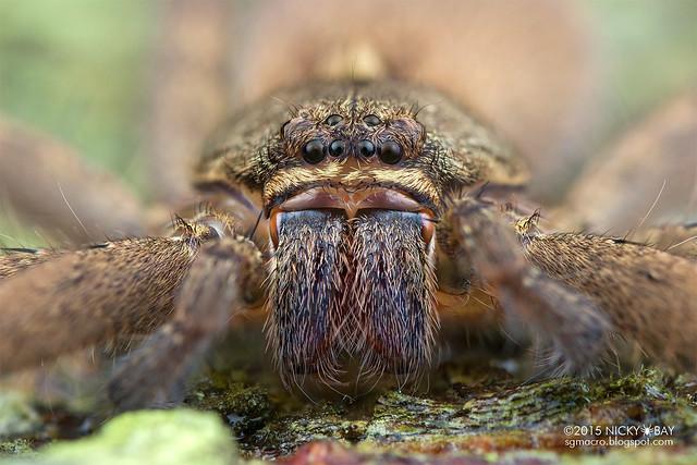 Huntsman spider (Heteropoda sp.) - DSC_2335