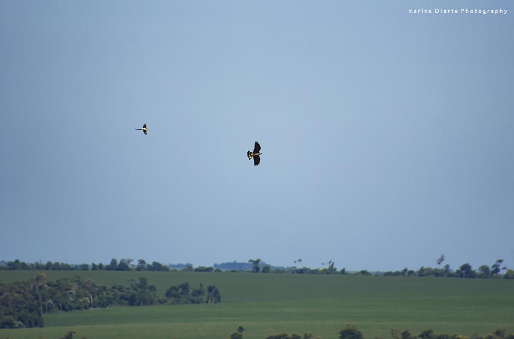 Tijereta - Fork tailed Flycatcher / Milano Plomizo - Plumbeous Kite