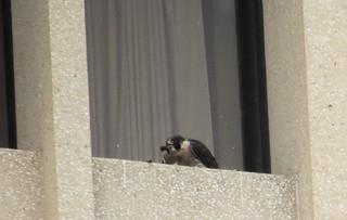 Peregrine falcon (Falco peregrinus) 2. Photo by Anna Kozlenko