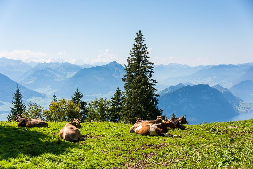 Cows suntanning
