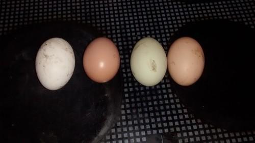 eggs Dec 16 3