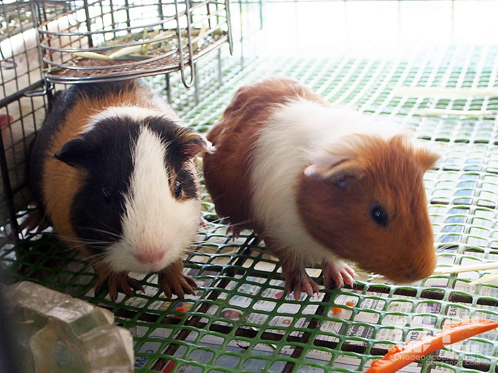animal corner, farm, farm tour, farmart centre, singapore, where to go in singapore, 农市中心, 農市中心, review,farmart,guinea pig,cavy