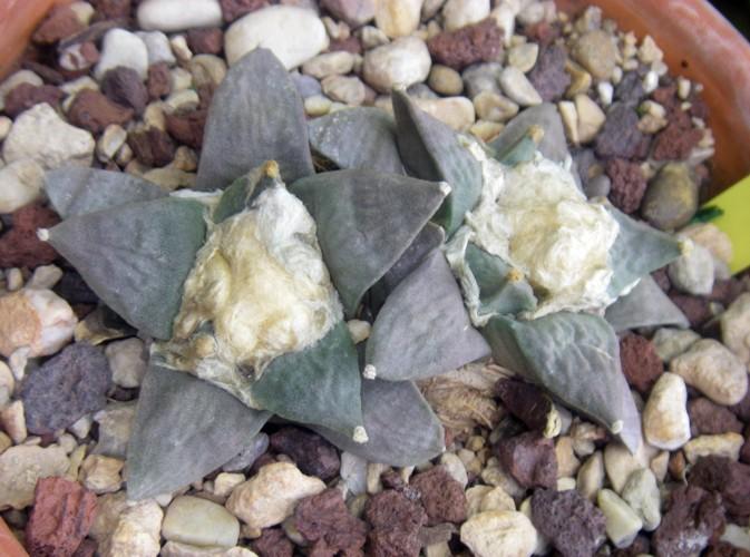 Ariocarpus retusus 31445586030_6eff933919_o