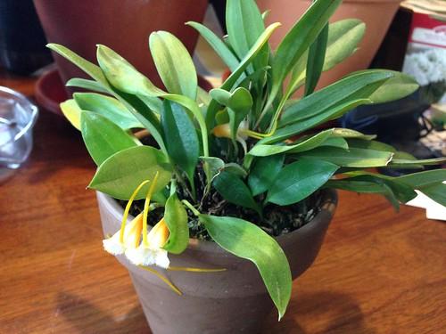 Masdevallia strobelii (big form)