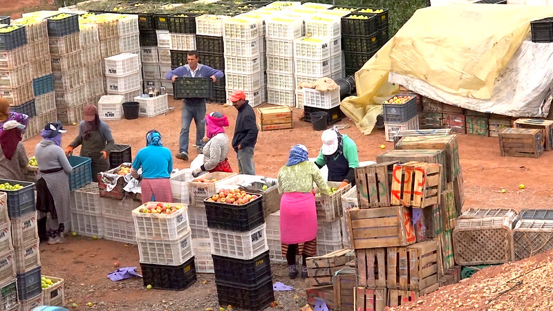 Workers Packing Apples, Morocco
