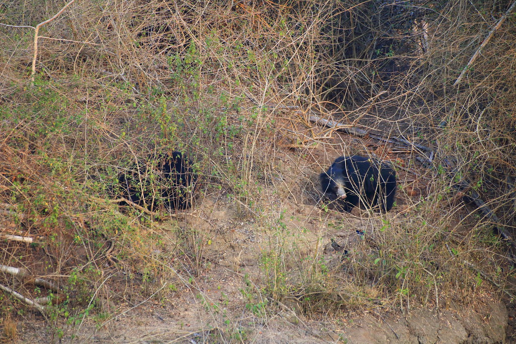 Sloth bears appear at the water hole