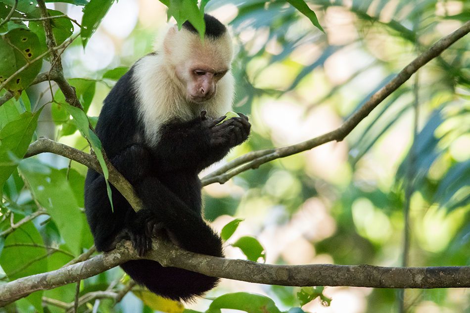Kaputsiinahv, Kaputsiin, ahv, Cebus, capucinus, White, headed, capuchin, faced, throated, Costa Rica, Manuel, Antonio, National, Park, Kaido Rummel
