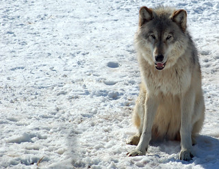 Gray Wolf (Canis lupus) | by dobak