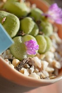 DSC_4692 Conophytum pillansii  コノフィツム ピランシー 翠光玉