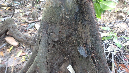 Bakau mata buaya (Bruguiera hainesii) with peeling bark on its trunk