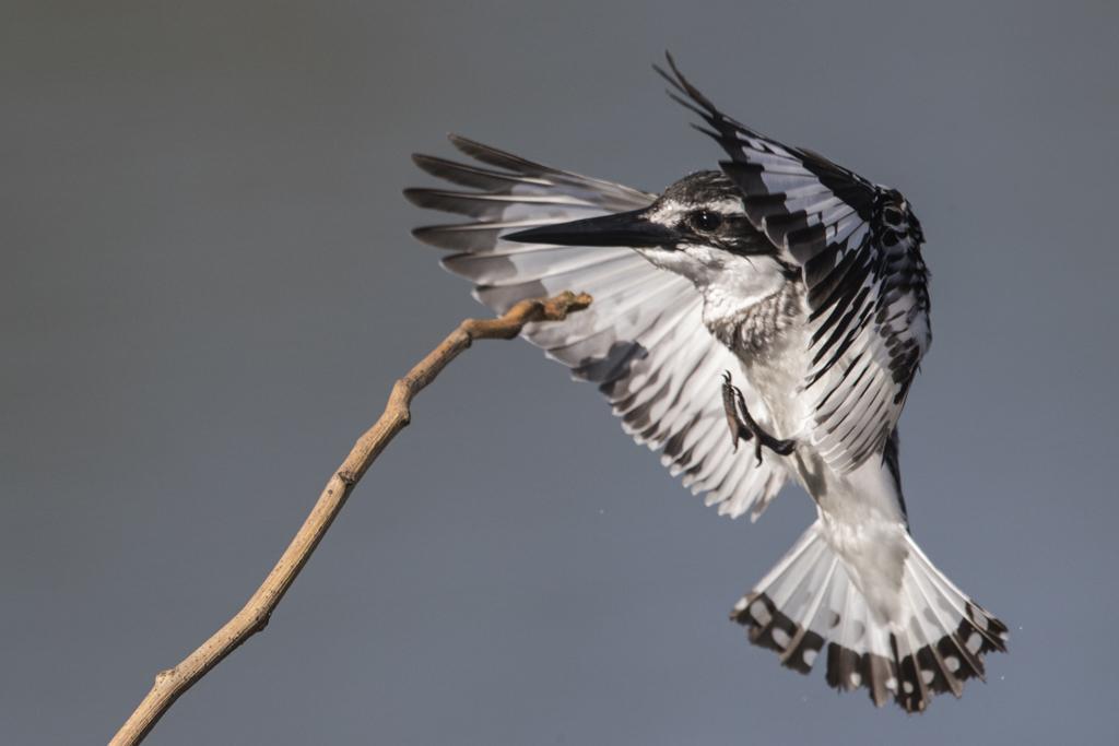 Pied Kingfishers in flight