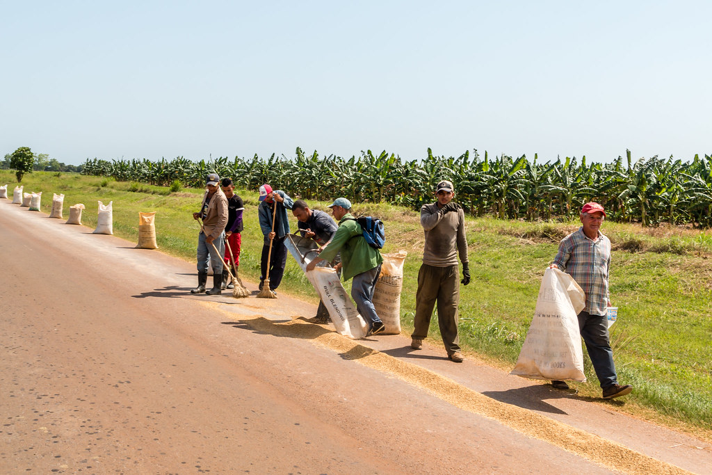 Séchage du riz - [Cuba]
