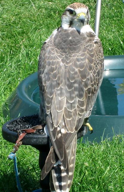 Falcon?