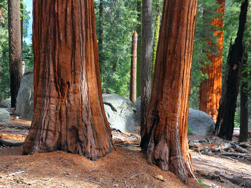 IMG_5002 Giant Sequoias, Sequoia National Park