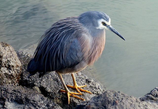 White Faced Heron.