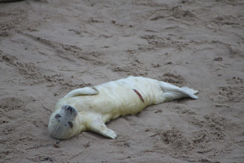 Grey Seals at Horsey Gap