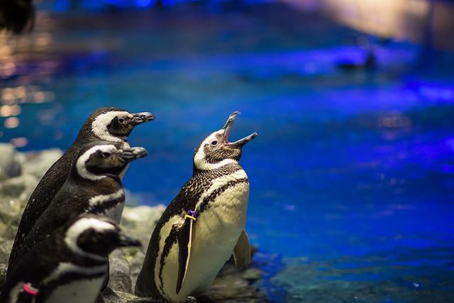 すみだ水族館であくびするペンギンの写真